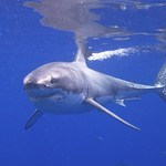 Shark Attack Campaign Team responds to WHO PSA on COVID-19 vaccine